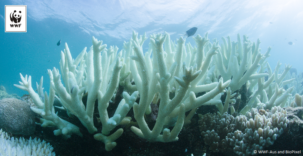 Back-to- back mass coral bleaching of the  Great Barrier Reef confirmed